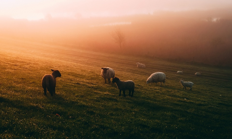 photo of sheep in misty field
