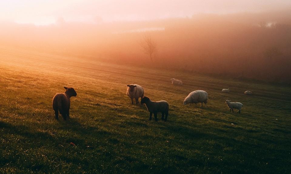 photo of sheep in misty field