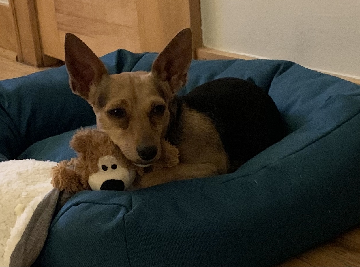 photo of rat terrier dog with teddy bear