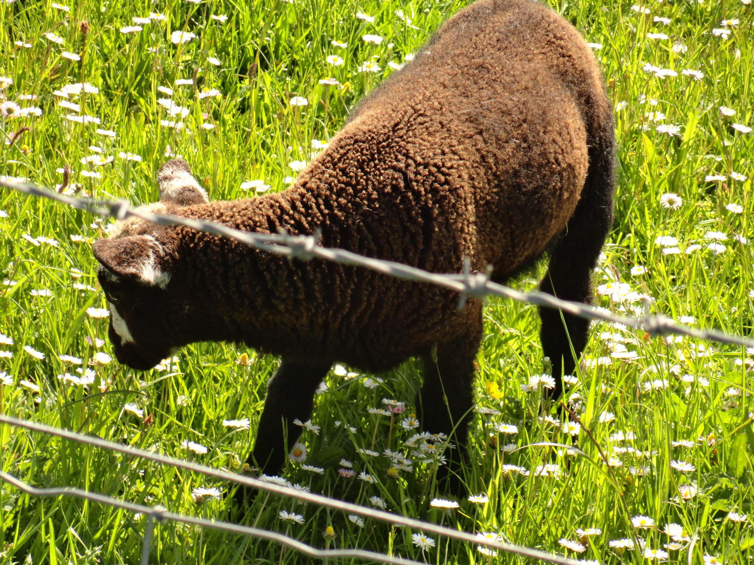 photo of a sheep near a fence