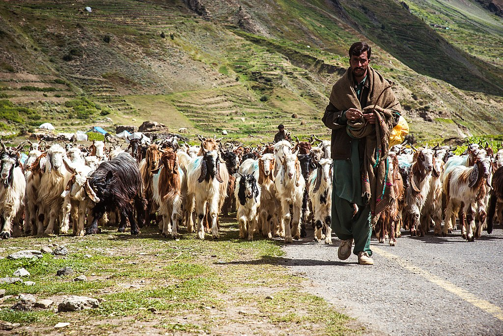photo of a shepherd leading a flock of sheep